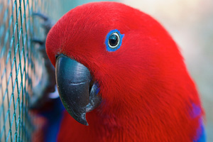 Female eclectus parrots DO make wonderful pets
