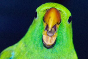 how to train your eclectus parrot