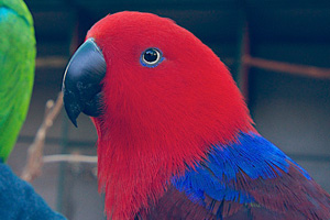 A healthy female Eclectus Parrot