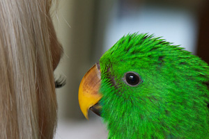 A beautiful, healthy, hand-raised Eclectus parrot baby